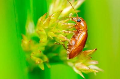 Macro Photography - Leaf Beetle